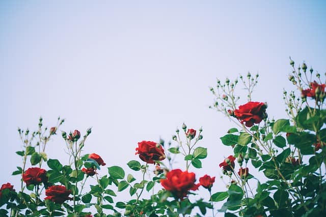 Use Coffee Grounds to Grow Beautiful Roses