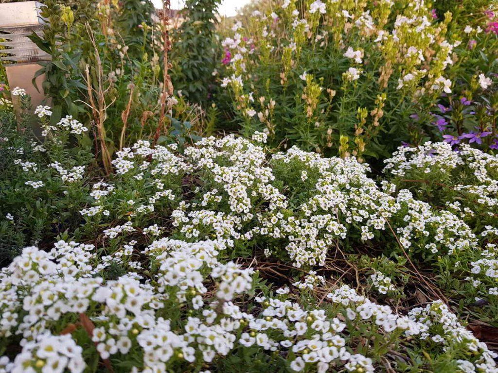 Grow beautiful flowers by using coffee grounds as fertilizer