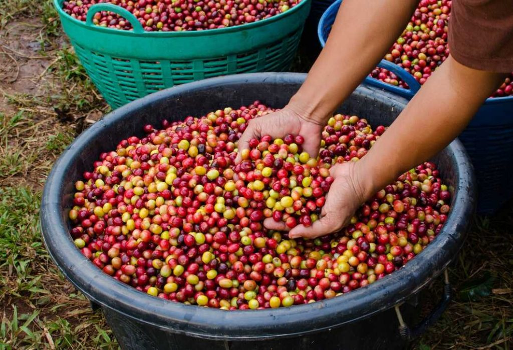 Fresh coffee beans in a basket with someone picking them up