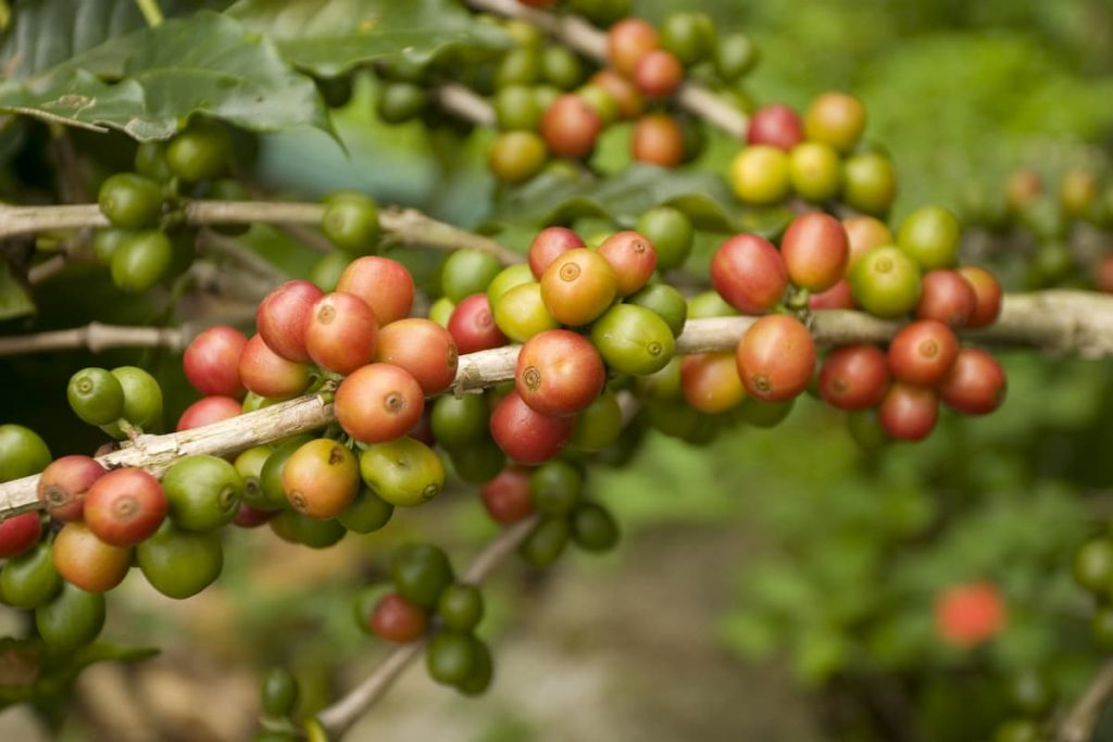 Coffee beans in Mexico (Chiapas)